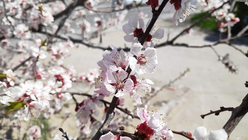 カザフスタン、アクタウの桜
